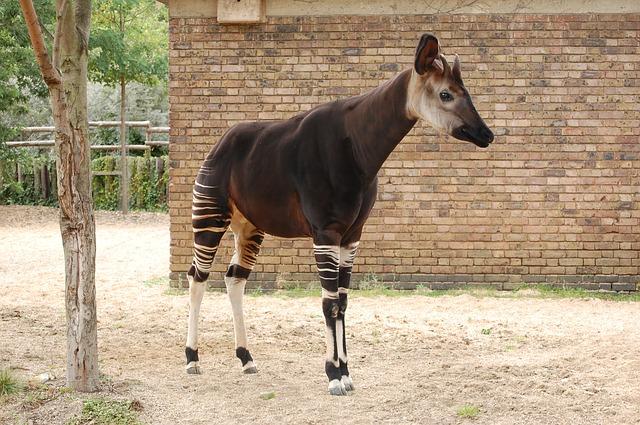 Pralesní žirafa